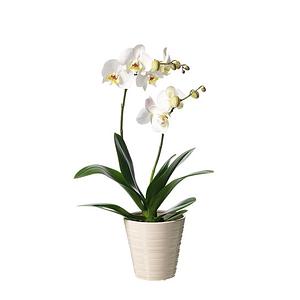 Vit Orkidé i kruka