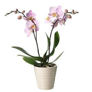 Rosa orkidé i Kruka